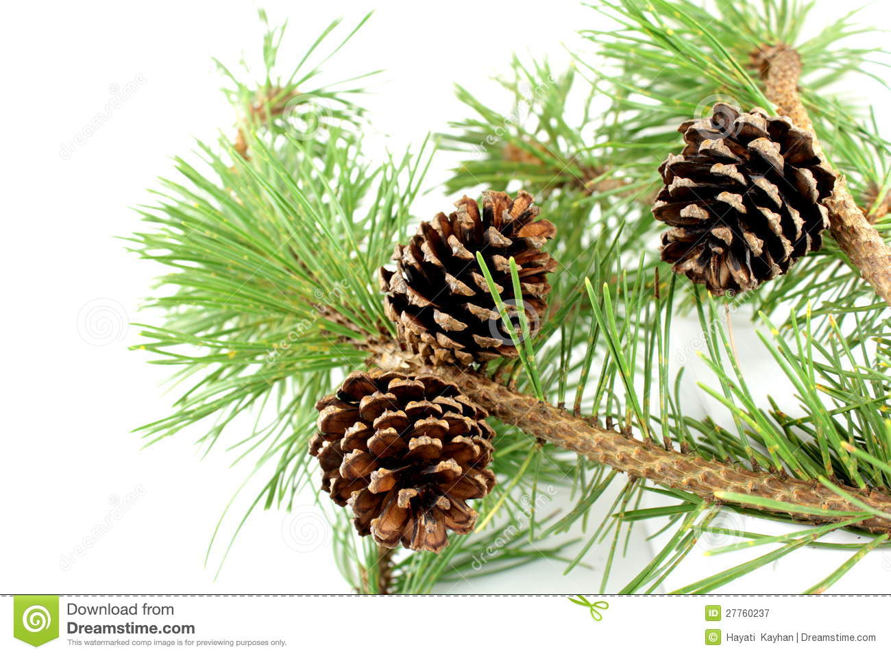 Pine Branch And Cones Royalty Free Stock Photography - Image: 27760237