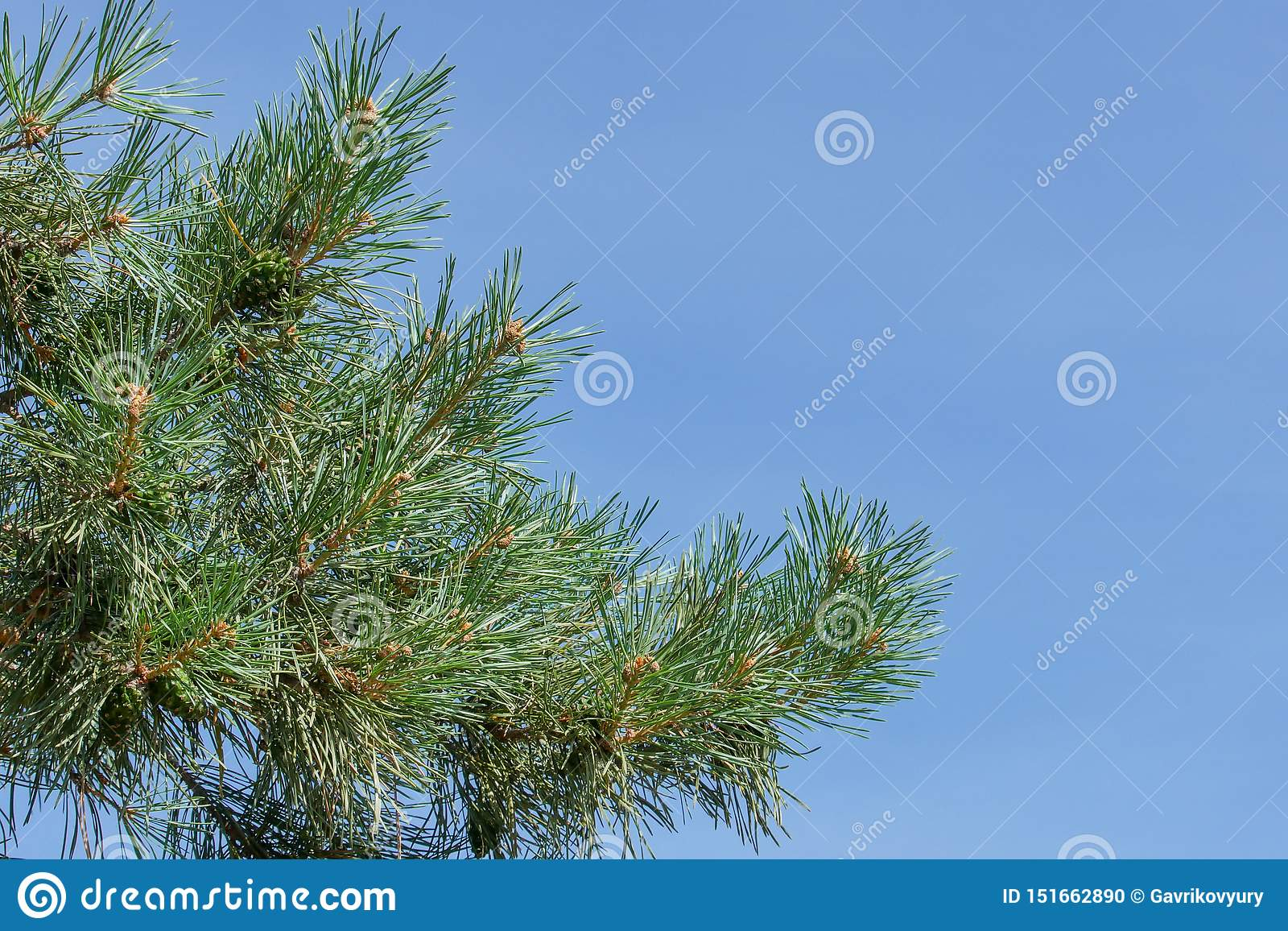 A pine branch with green cones against the blue sky in the park.