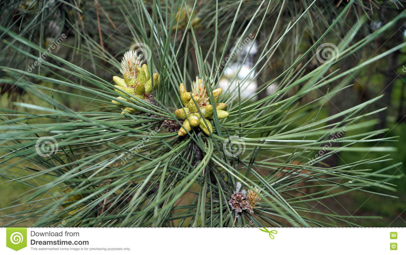 Pine branch with long green needles stock image image for Long pine cones