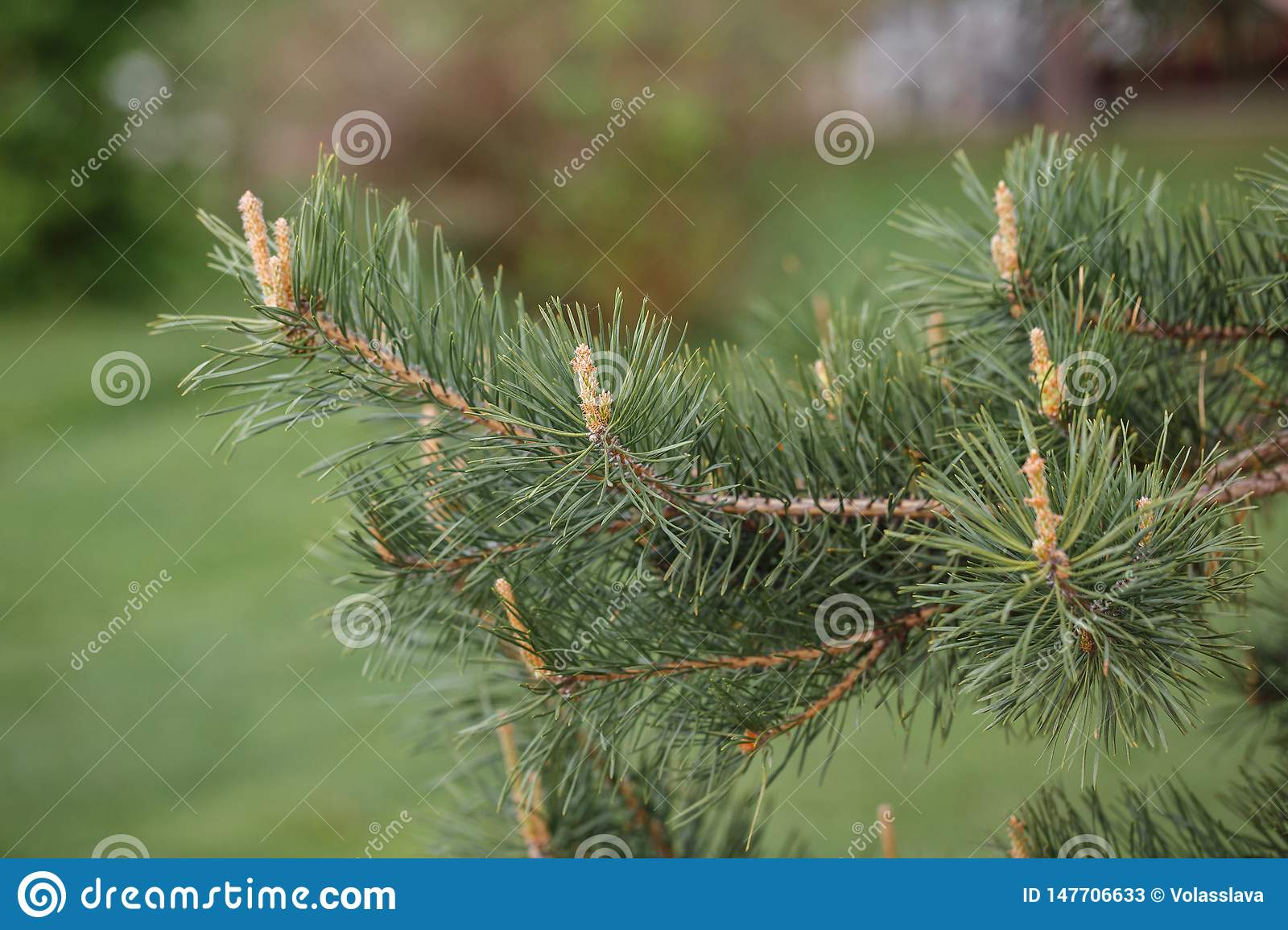 Pine buds on a branch