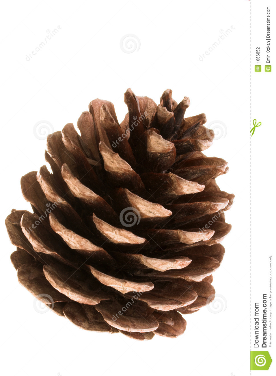 Pine Cone Stock Photo Image Of Natural Cone Tree