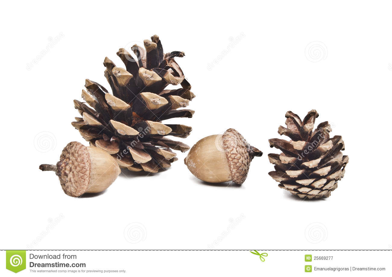 Pine Cone Illustration Pine cone and acorns Royalty