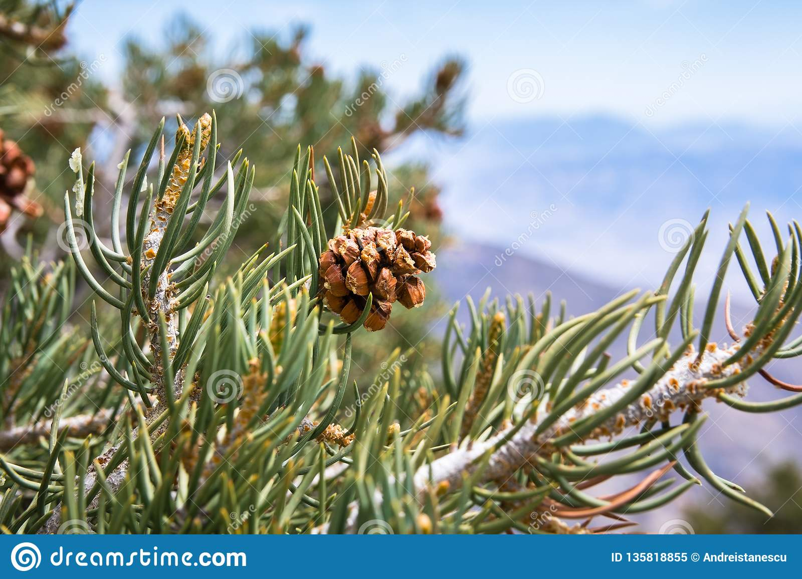 Pine Cone And Needles, Death Valley National Park ...