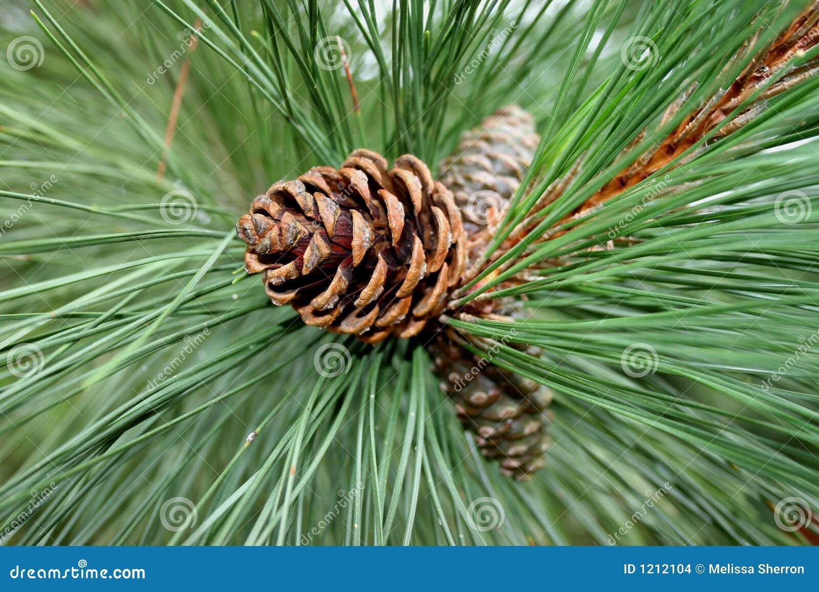 Pine cones stock photo. Image of christmas, close, season ...