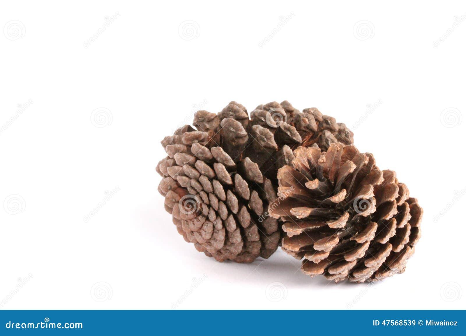 Pine Corn Stock Photo Image 47568539