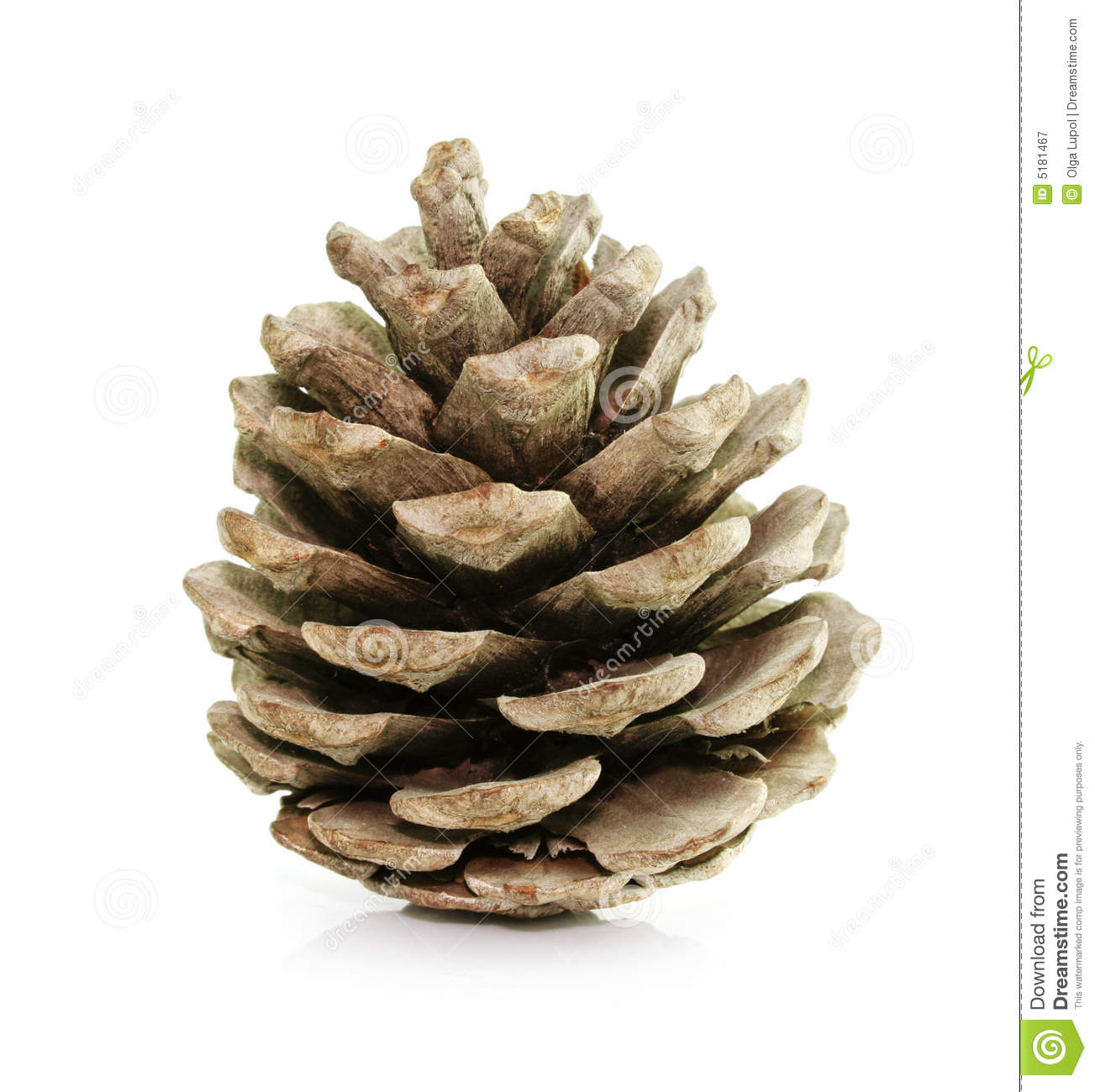Pine Fir tree Cone Isolated On White Royalty Free Stock