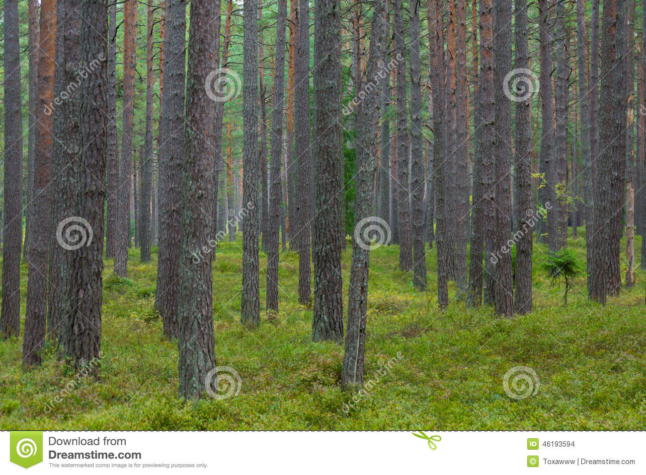Pine forest in Jurmala