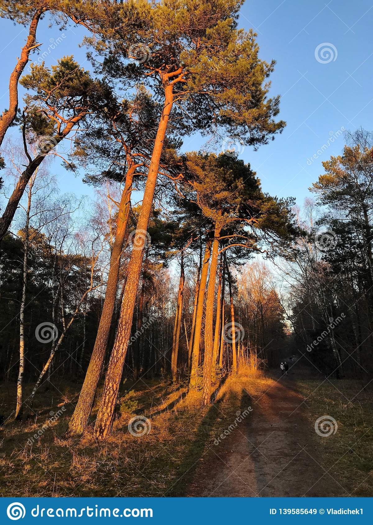 A pine forest lit up by sun