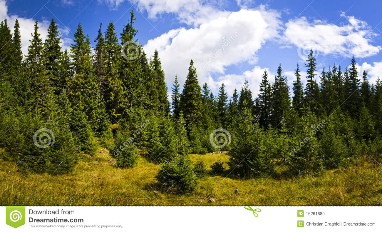 Download Pine forest landscape stock photo. Image of tourism, tree - 16261680