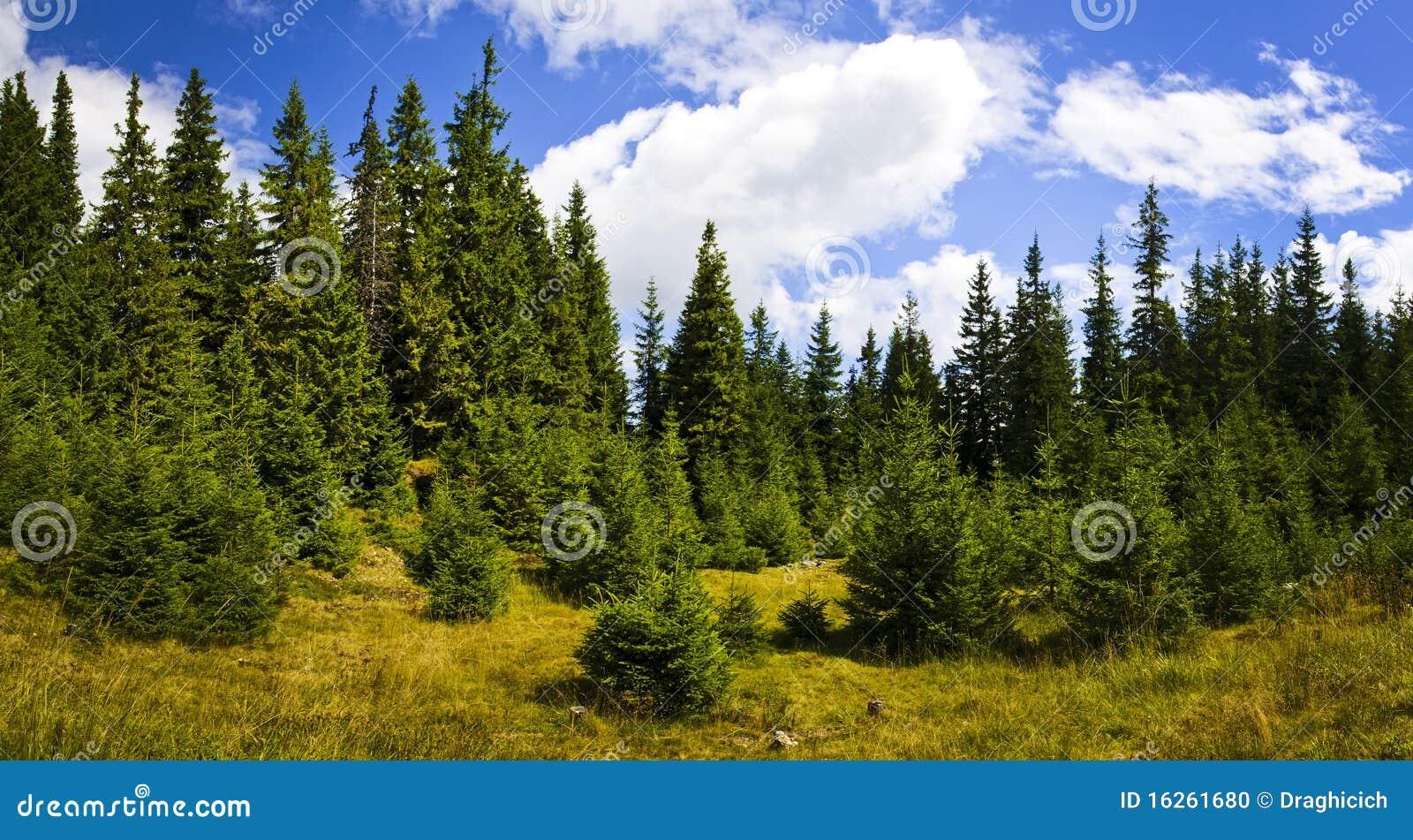 pine forest landscape