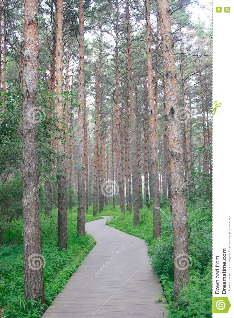 The pine forest path