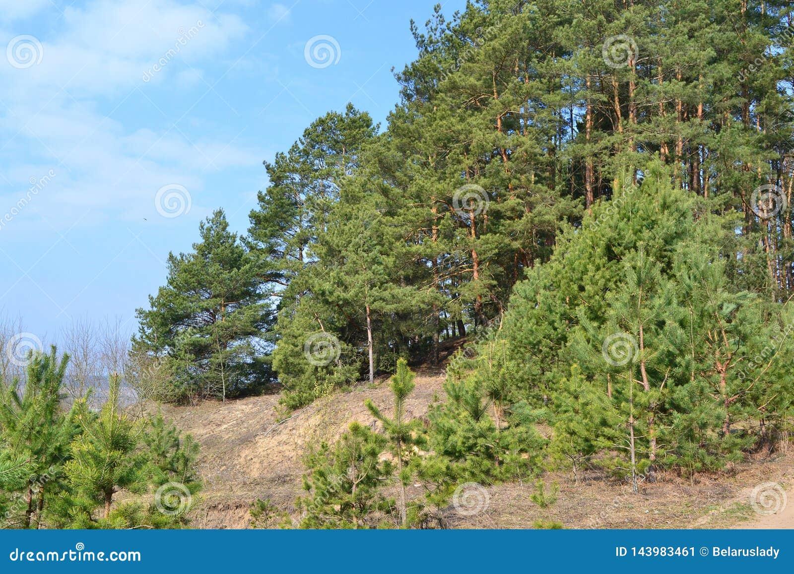 Pine forest spring view, landscape of Belarus