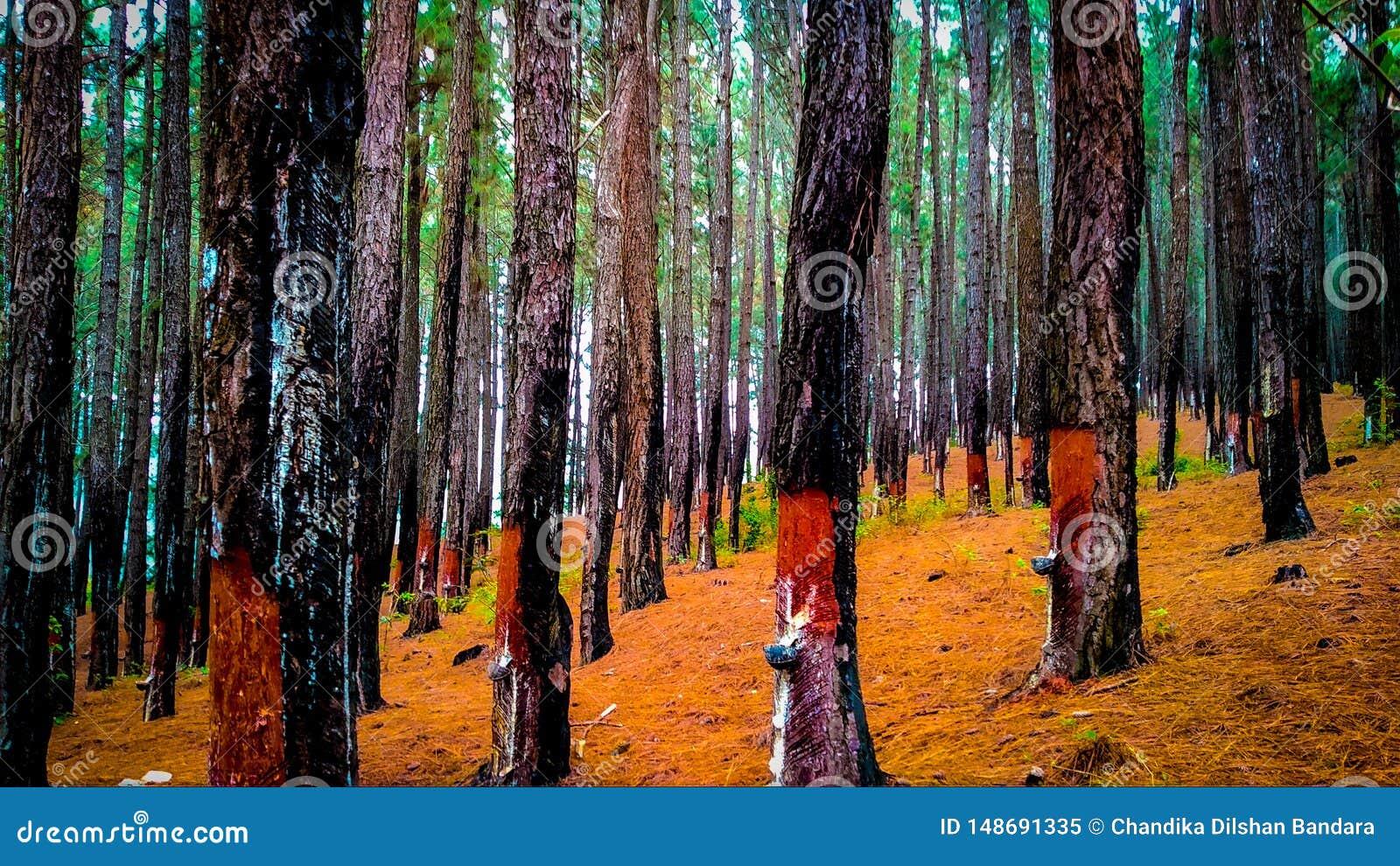 Pine forest in sri lanka
