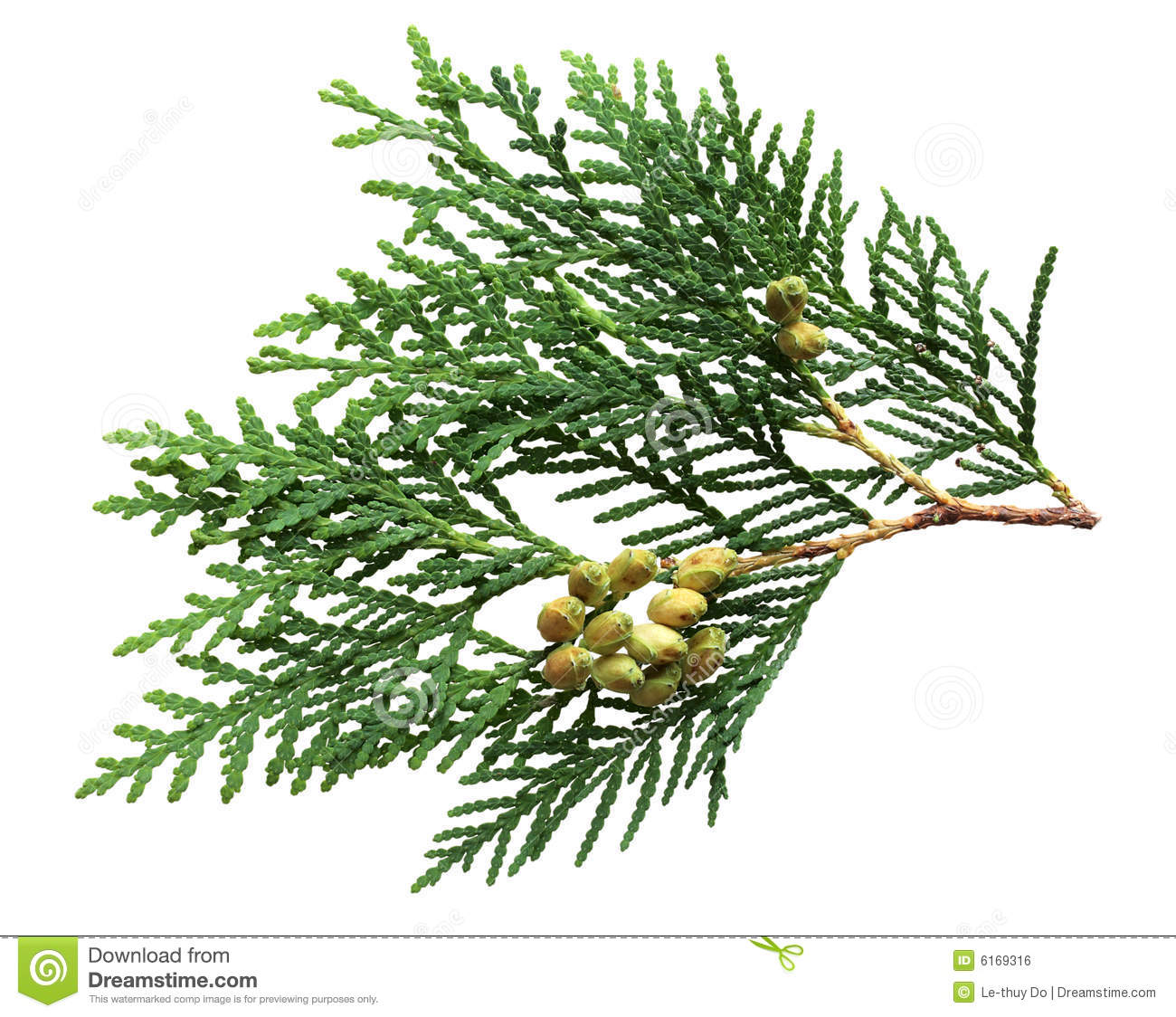 pine leaf and fruits isolated on white background mr no pr no 2 2784 4