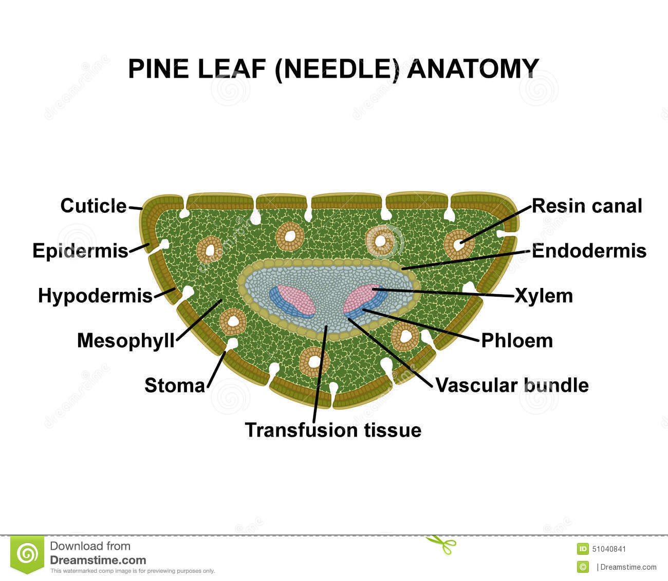 pine-leaf-needle-anatomy-schematic-cross-section-51040841.jpg
