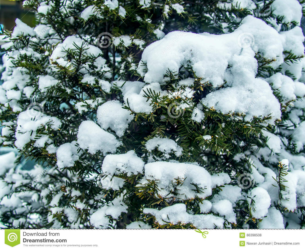 Pine Leaves Covered With The Snow Stock Photo - Image of ...