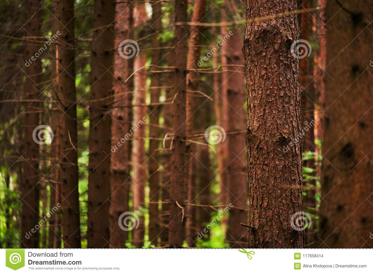 Pine forest, nature background