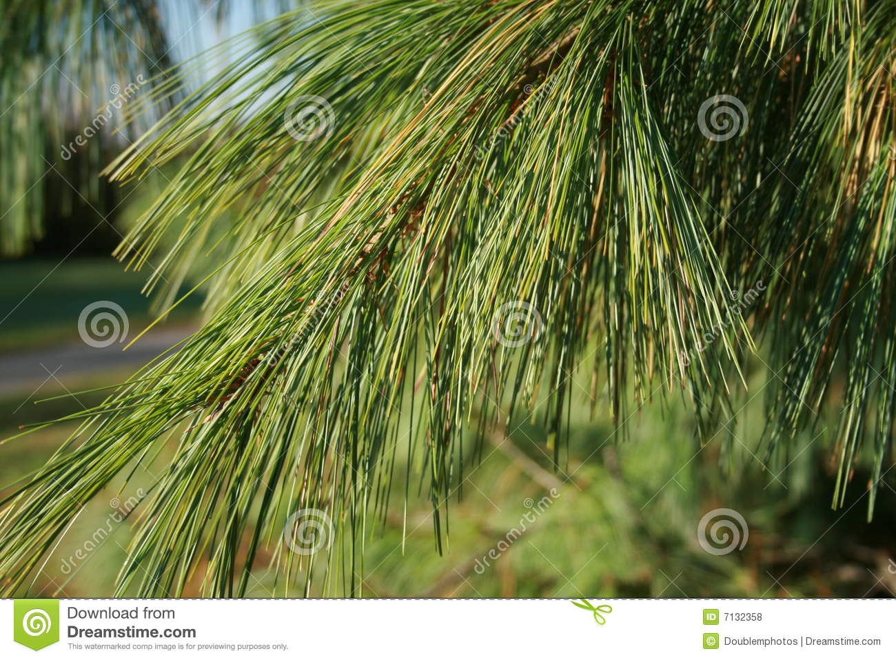 Pine Tree Royalty Free Stock Photos - Image: 7132358