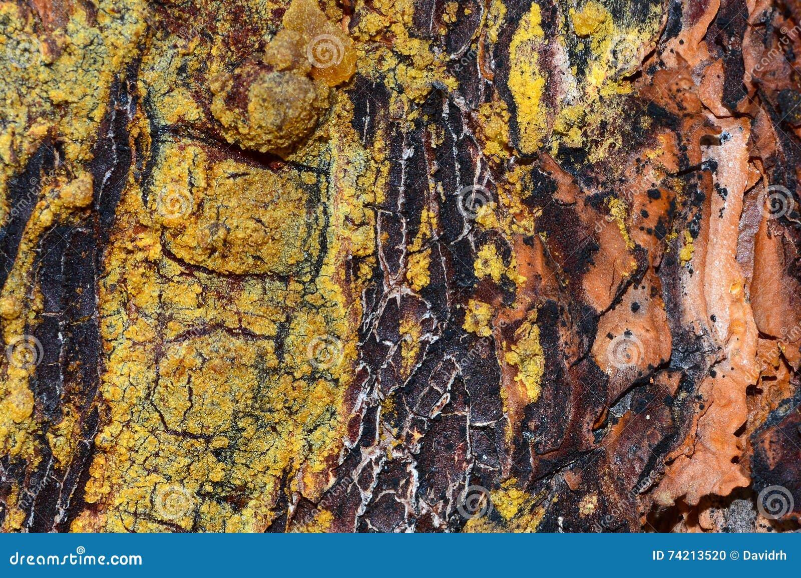 Pine Tree Bark Detail