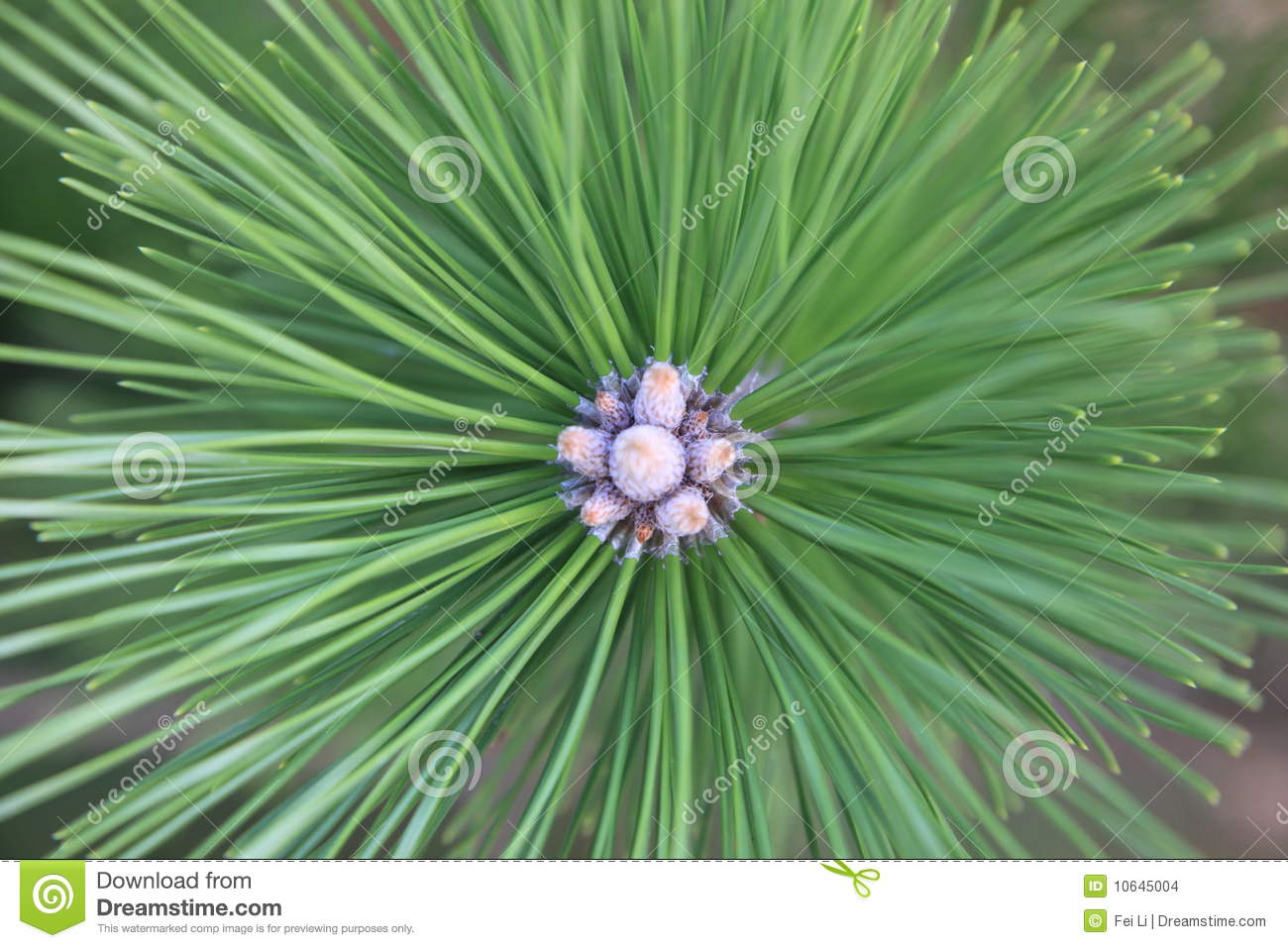 Download Pine tree in bloob stock photo. Image of background, bloom - 10645004