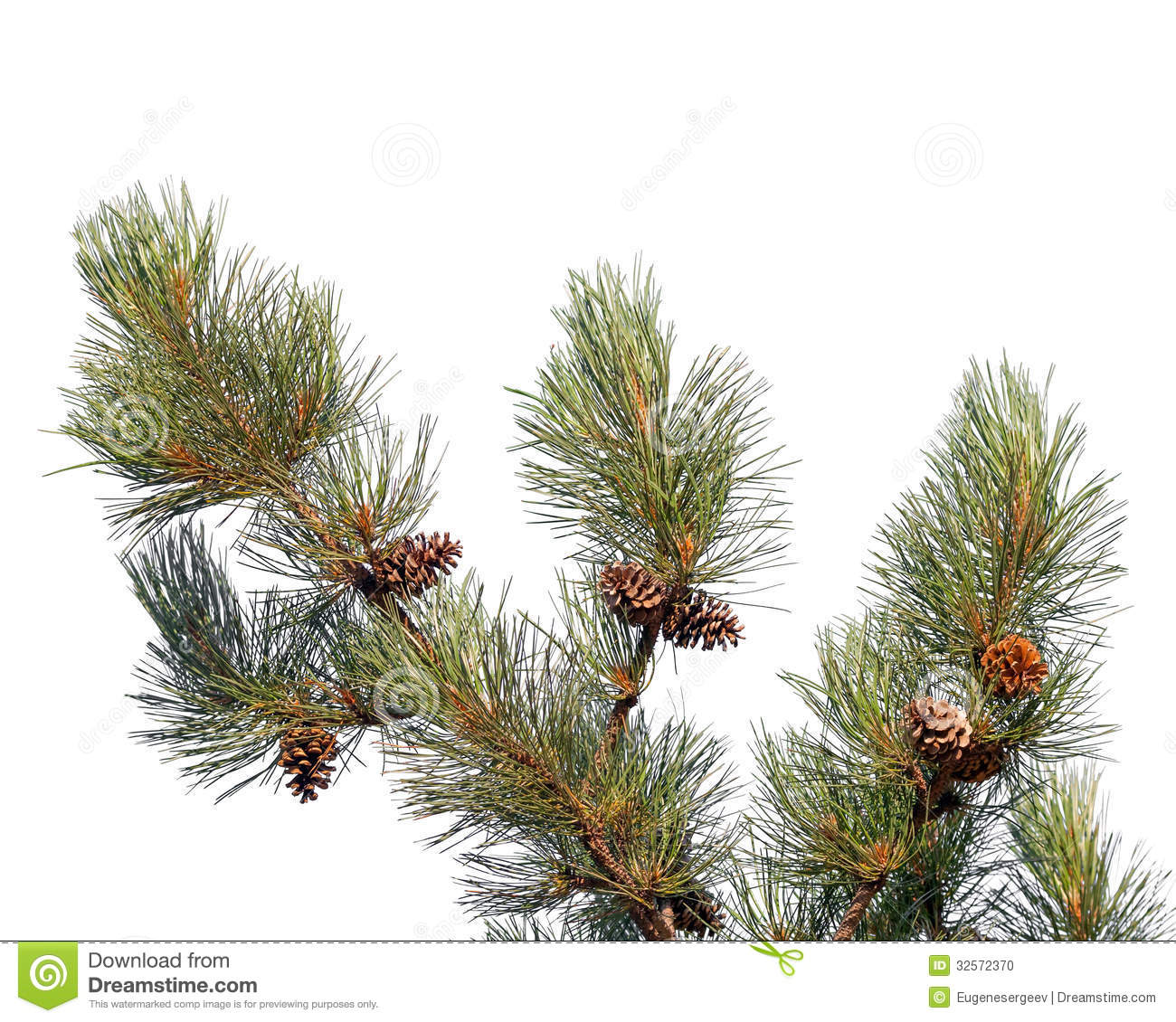 Pine Tree Branch With Cones Isolated Stock Photo - Image ...