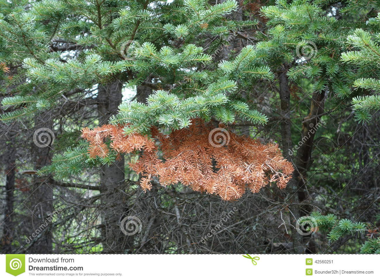 A Pine Tree Branch Half Alive And Half Dead In A Forest Stock Image