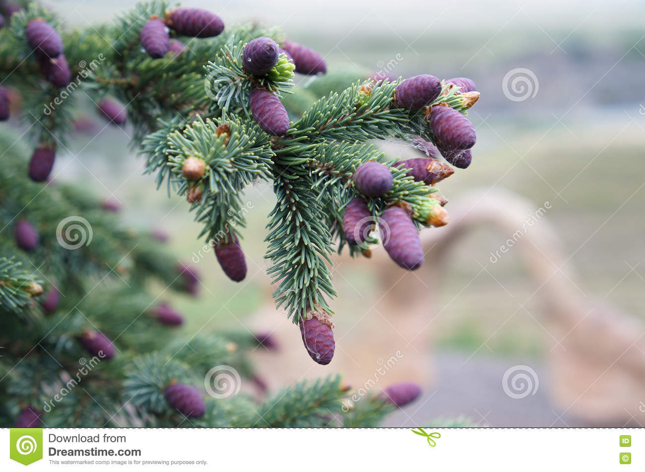 Pine Tree Branch Purple Pine Cones Stock Images Download 364
