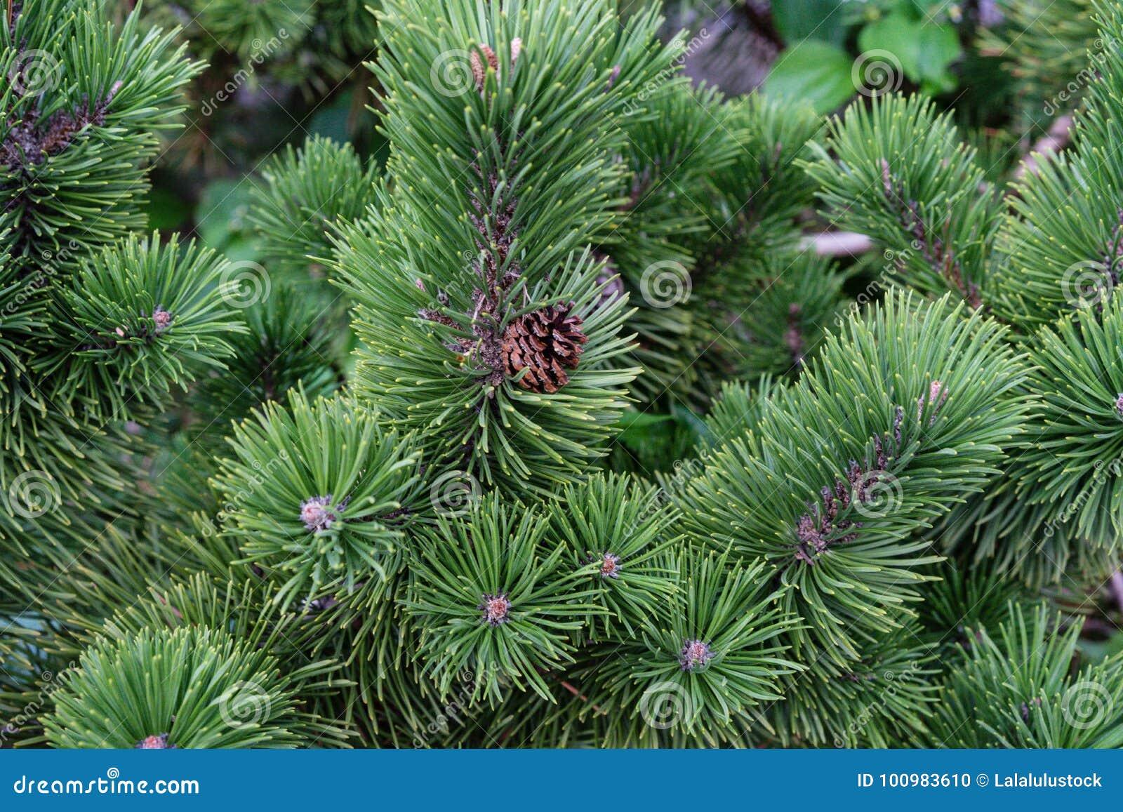 pine tree close up view green christmas tree needle macro with pinecone - Christmas Tree With Pine Cones