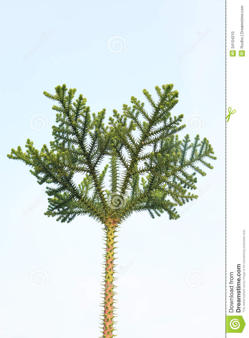 Pine tree crown isolated on the blue sky background