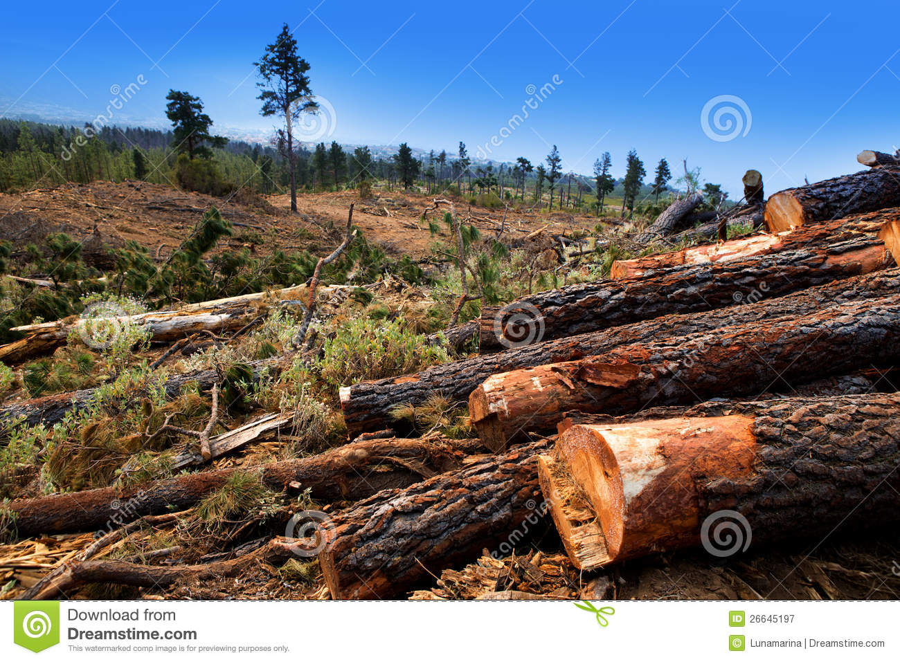 Pine tree felled for timber industry in tenerife royalty Pine tree timber