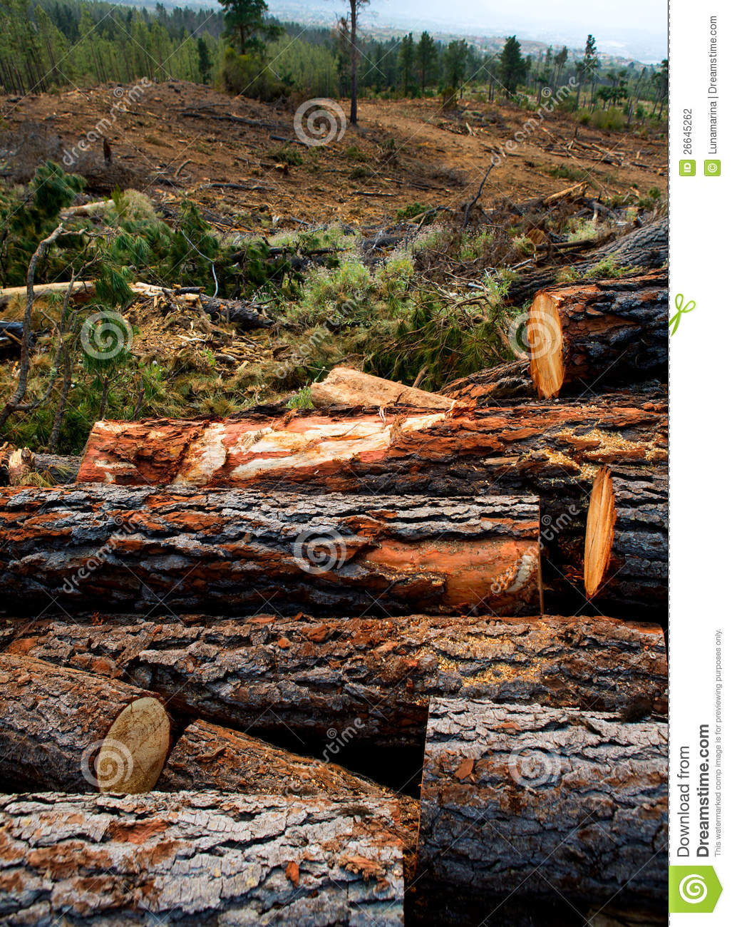 Pine tree felled for timber industry in tenerife stock Pine tree timber