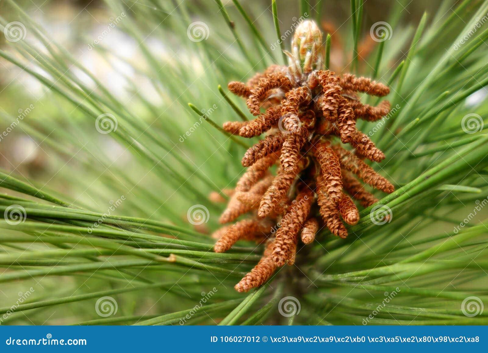 A pine tree flower