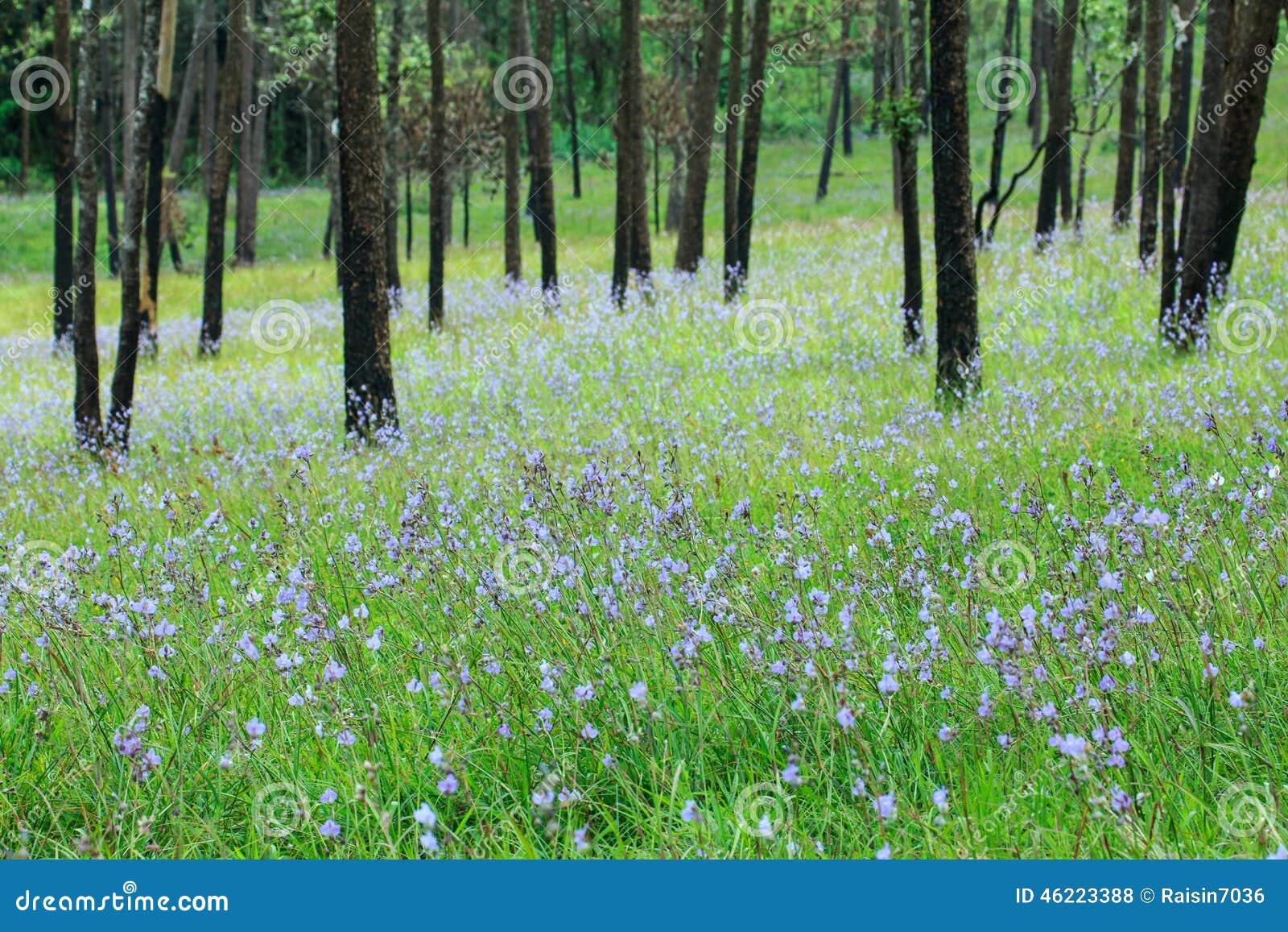 Pine Tree Garden In Blossom, Phoosoidao National Park Thailand