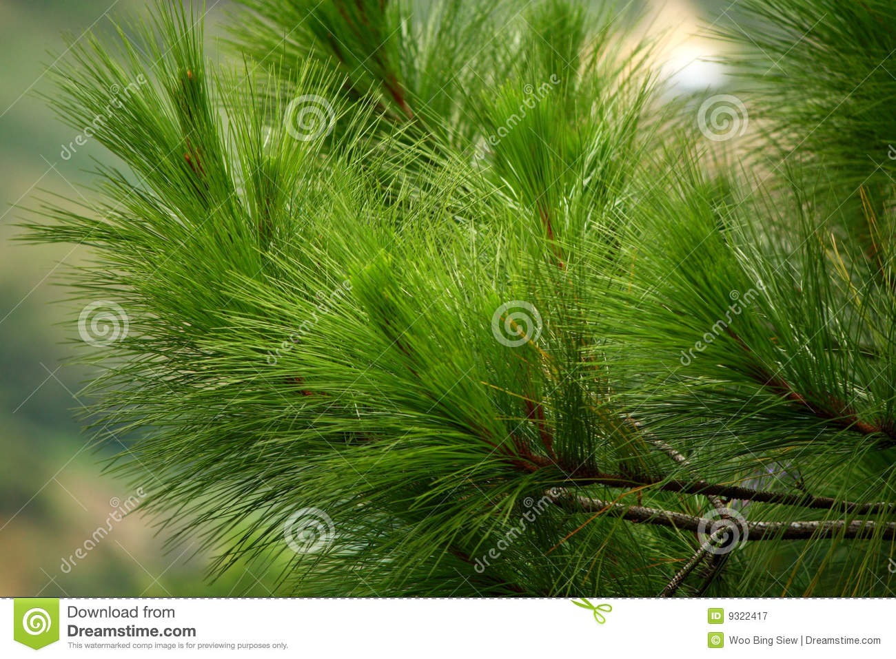 Pine Tree Leaves Royalty Free Stock Photography - Image: 9322417