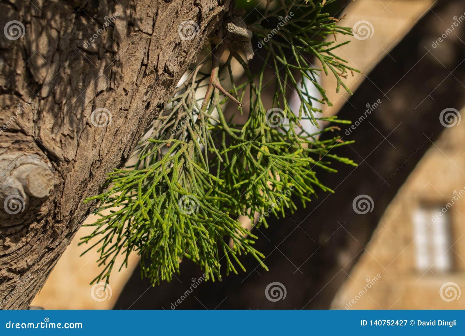 Pine tree leaves macro shot