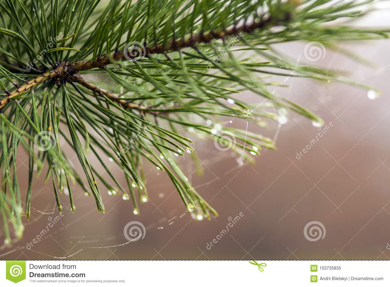 Pine tree needles with water drops close-up