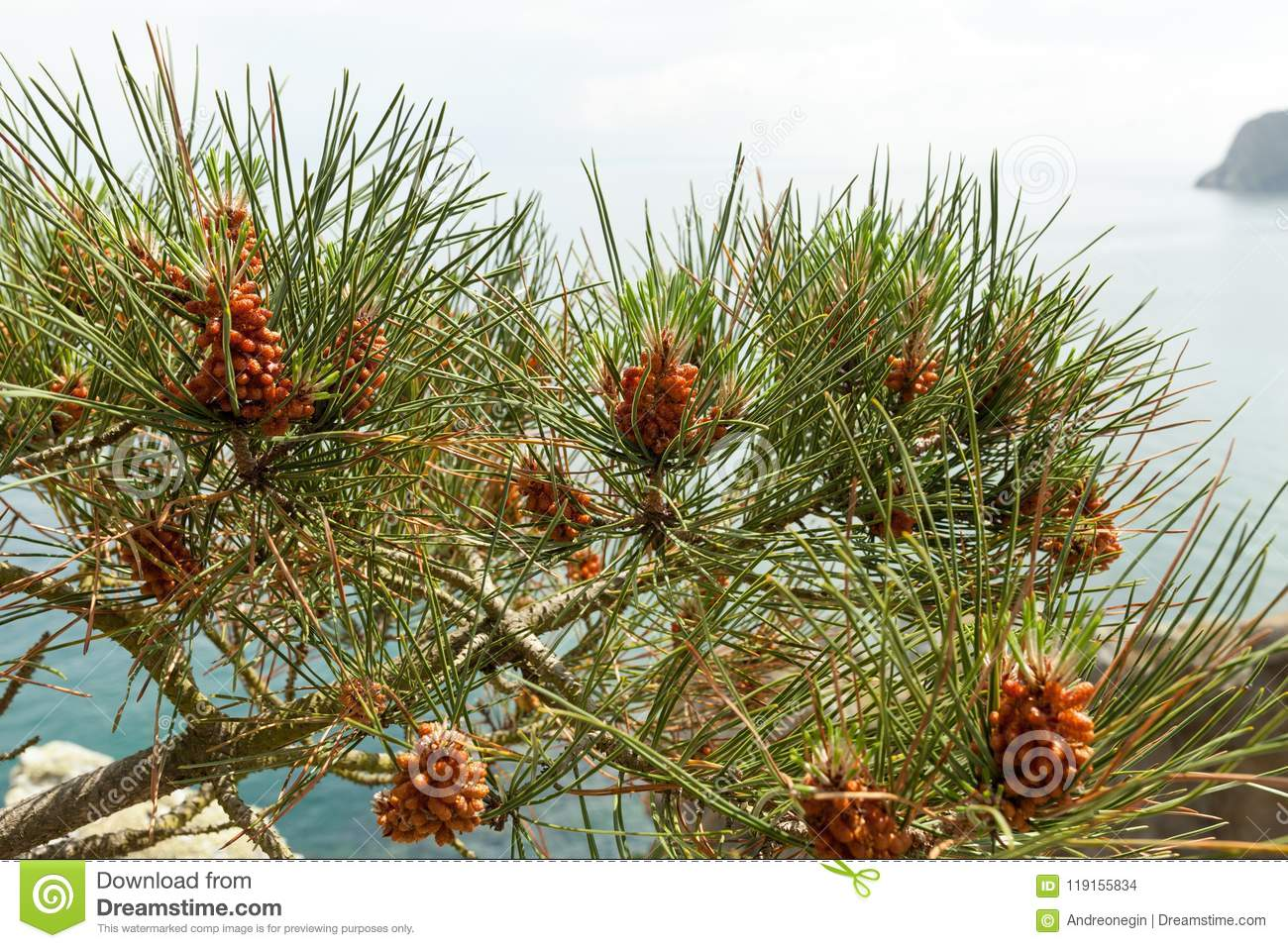 Pine tree with pine cones on the sea background