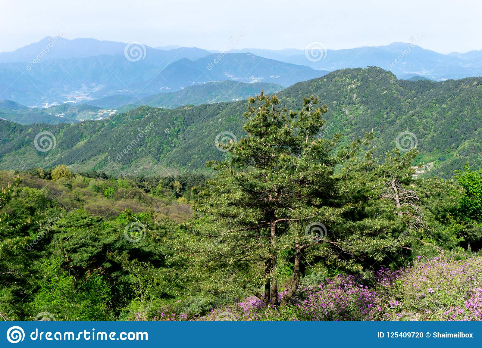 Pine tree and pink royal azalea flower or cheoljjuk grow around the download pine tree and pink royal azalea flower or cheoljjuk grow around the hillside in hwangmaesan mightylinksfo