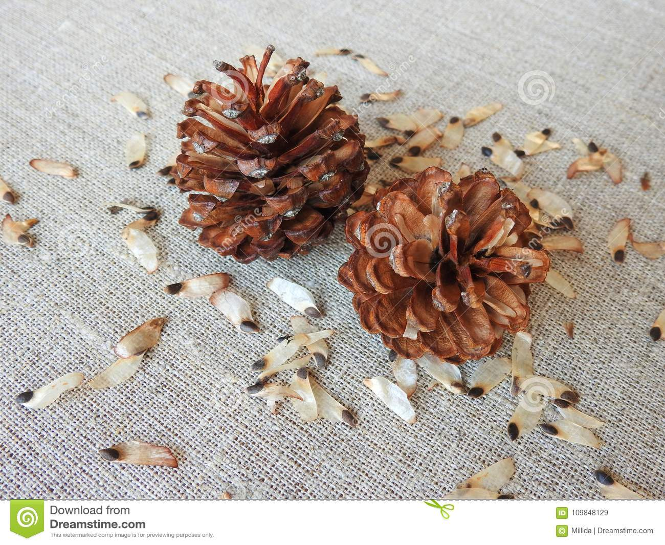 Pine Tree Seeds And Stones On Linen Fabric, Lithuania ...