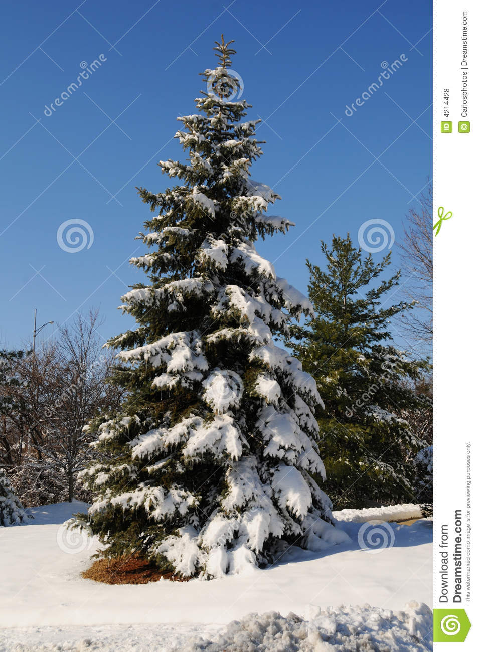 Pine tree with snow royalty free stock photos image 4214428 - Images of pine trees in snow ...