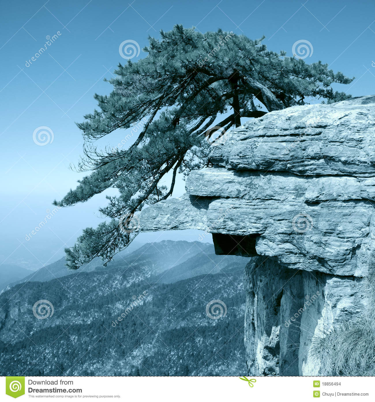 Pine Tree Stand Towering On The Cliff Stock Photo Image