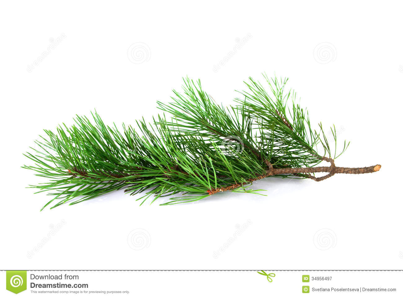 Pine Tree Twig Royalty Free Stock Photography