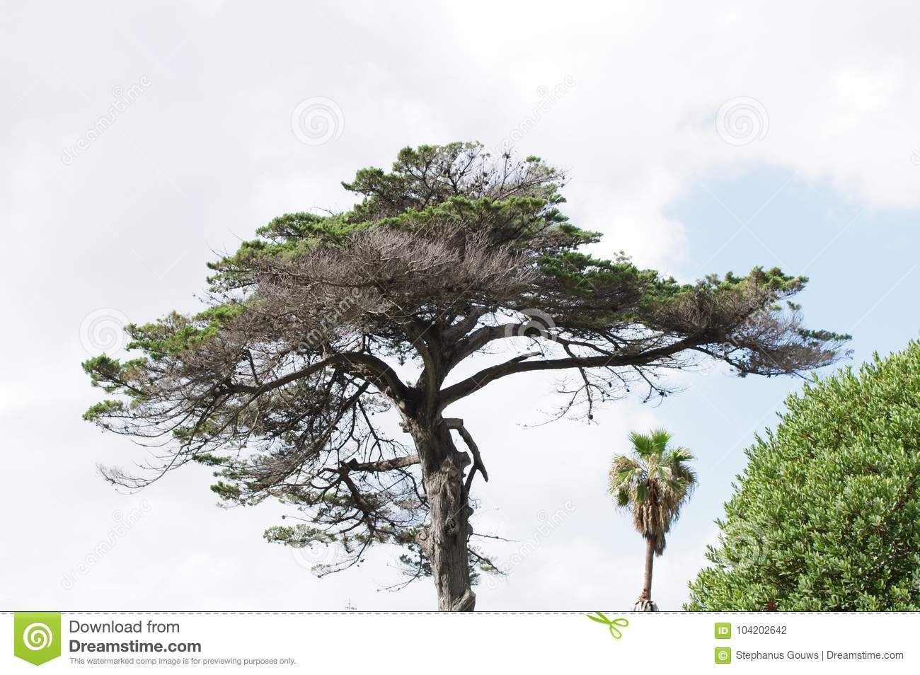 Umbrella-like pine tree with dry leaves and branches silhouetted against blue sky