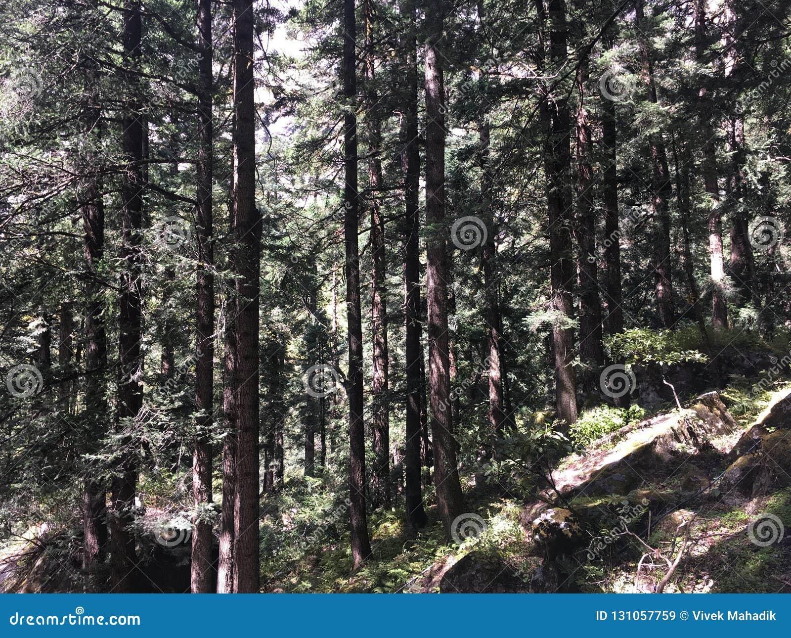 Pine Tree On Way To Valley Of Flowers Himalaya Stock Image ...