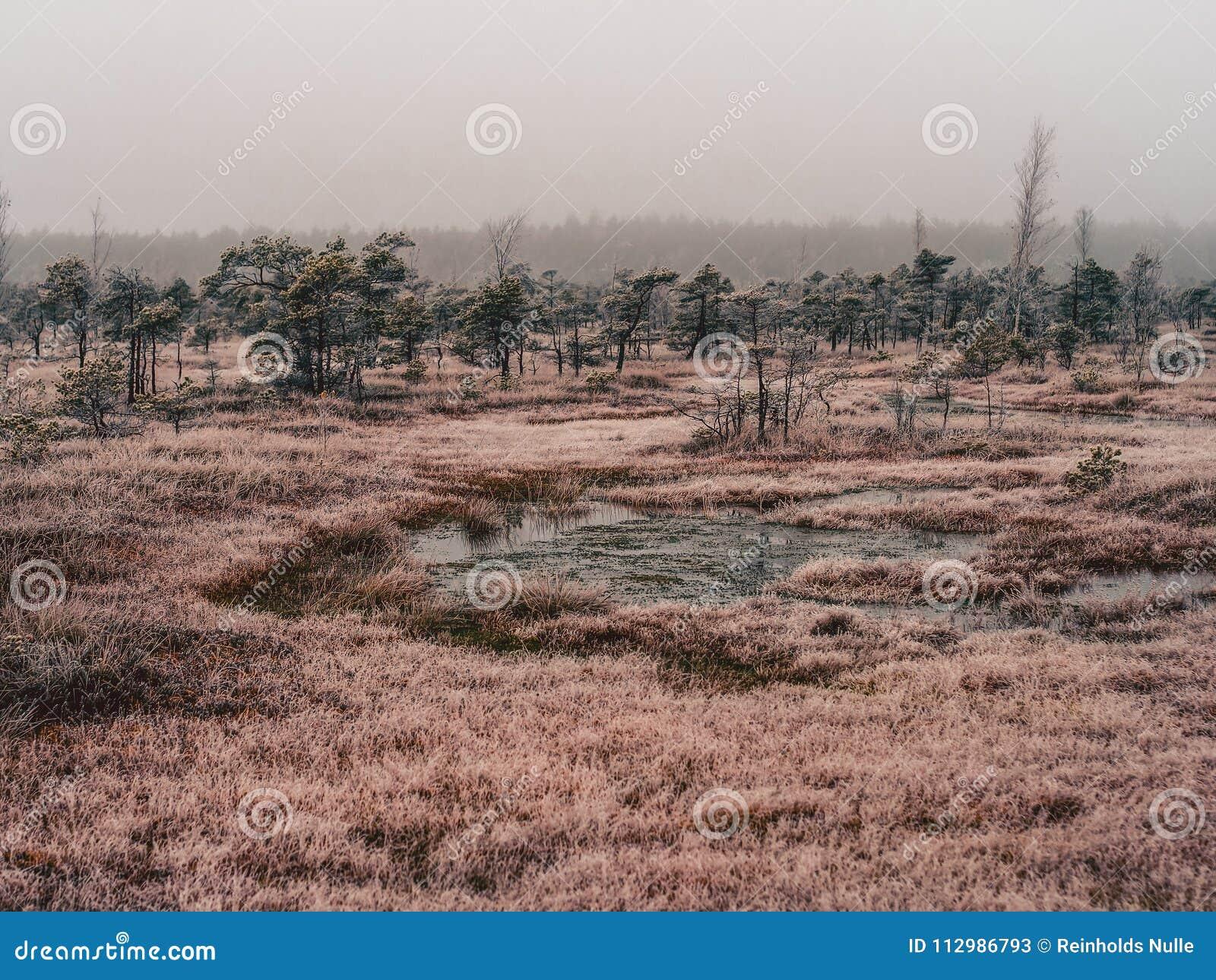 Pine Trees in Field of Kemeri moor in Latvia - vintage look edit