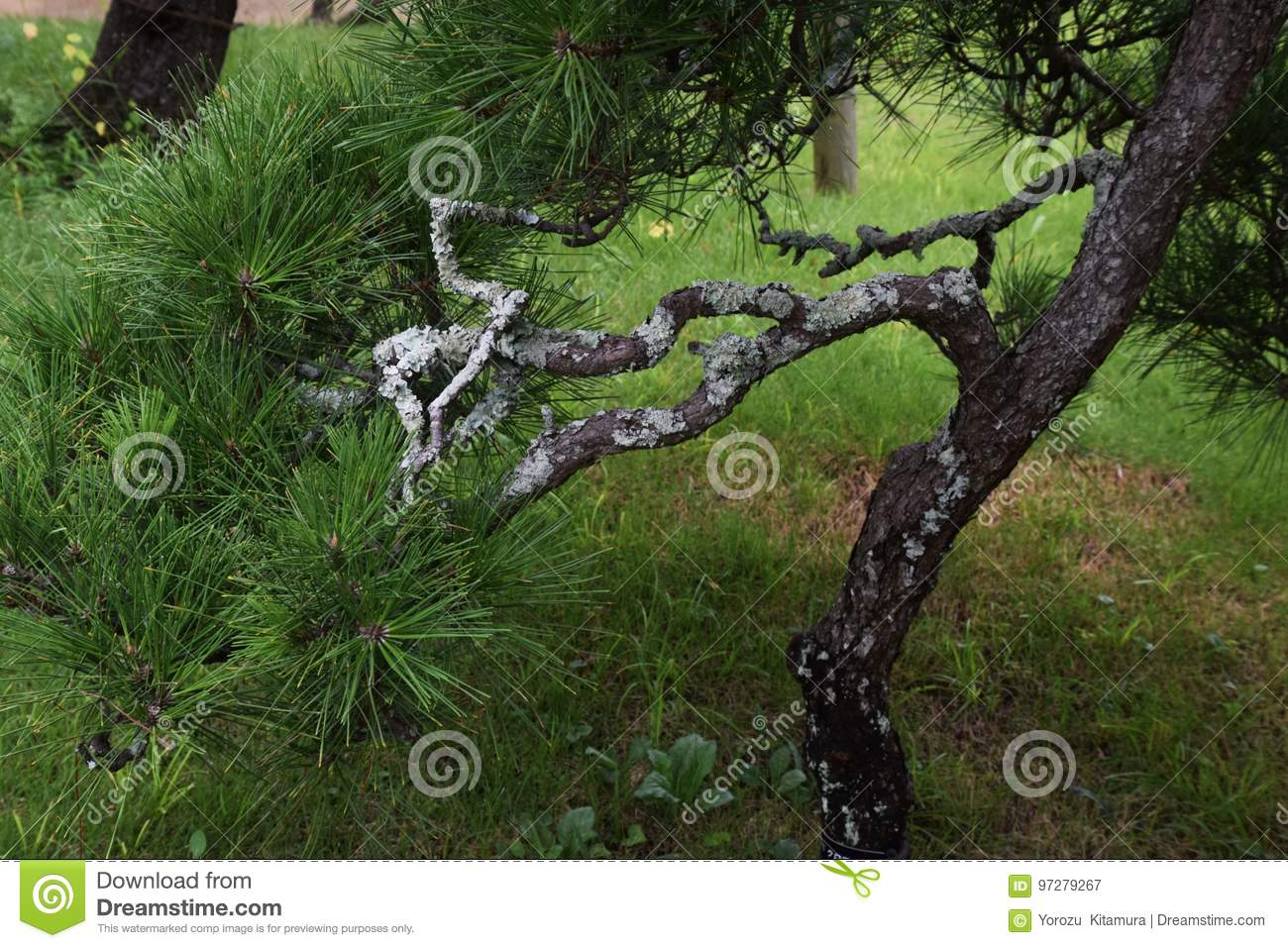Pine Trees In The Japanese Garden Stock Image - Image of pine, trees
