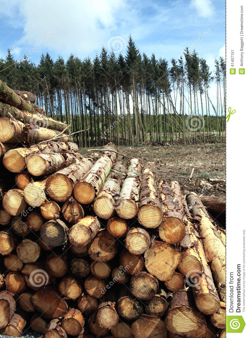 Pine trees log trunks stock photo image 61407151 for Pine tree timber