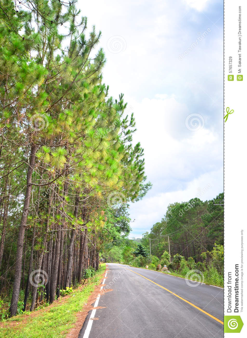 Pine trees with the road
