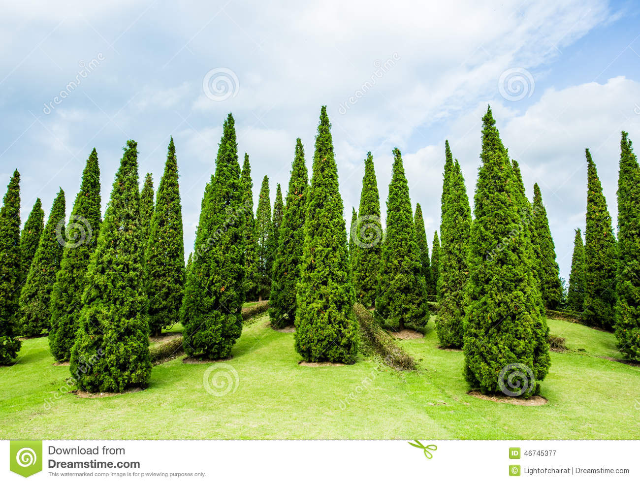 Pine Trees In The Royal Flora Garden Chiangmai Thailand Royalty Free Stock  Photography