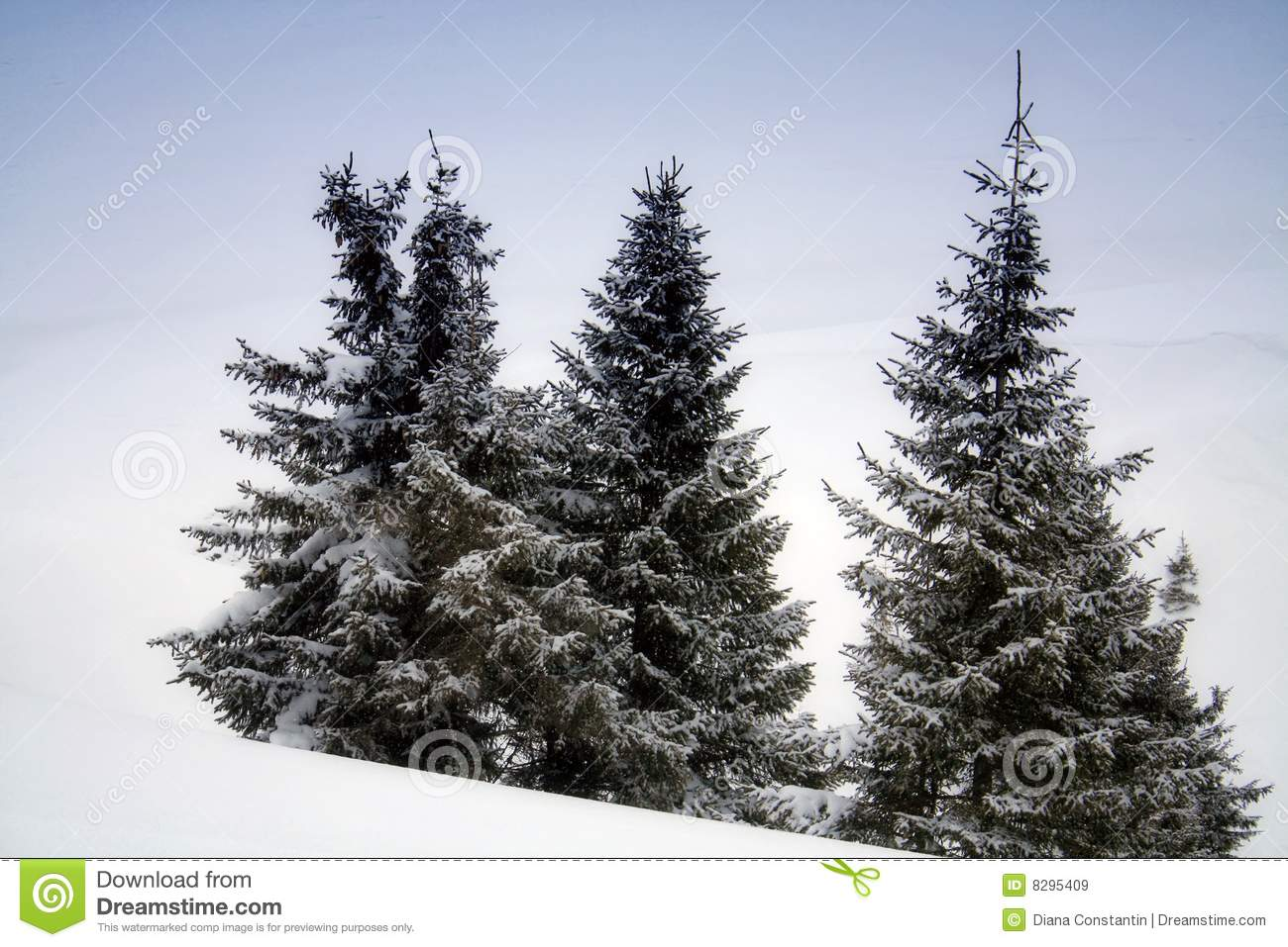 Pine trees in snow royalty free stock images image 8295409 - Images of pine trees in snow ...